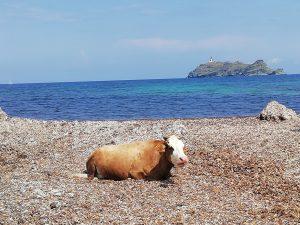 Mucca in spiaggia